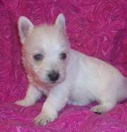 Gorgeous West Highland Terrier Puppy Available